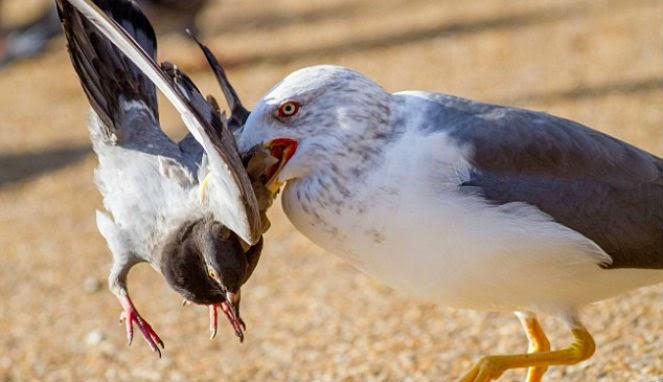 Kekejaman Burung Camar Saat Membunuh Merpati