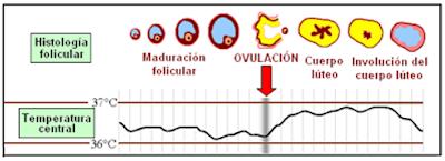 ciclo sexual, variación de la temperatura