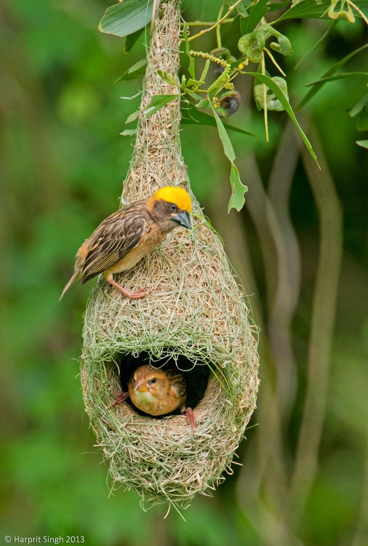 Sacred Groves: SACRED BIRDS Bird Nest With Bird
