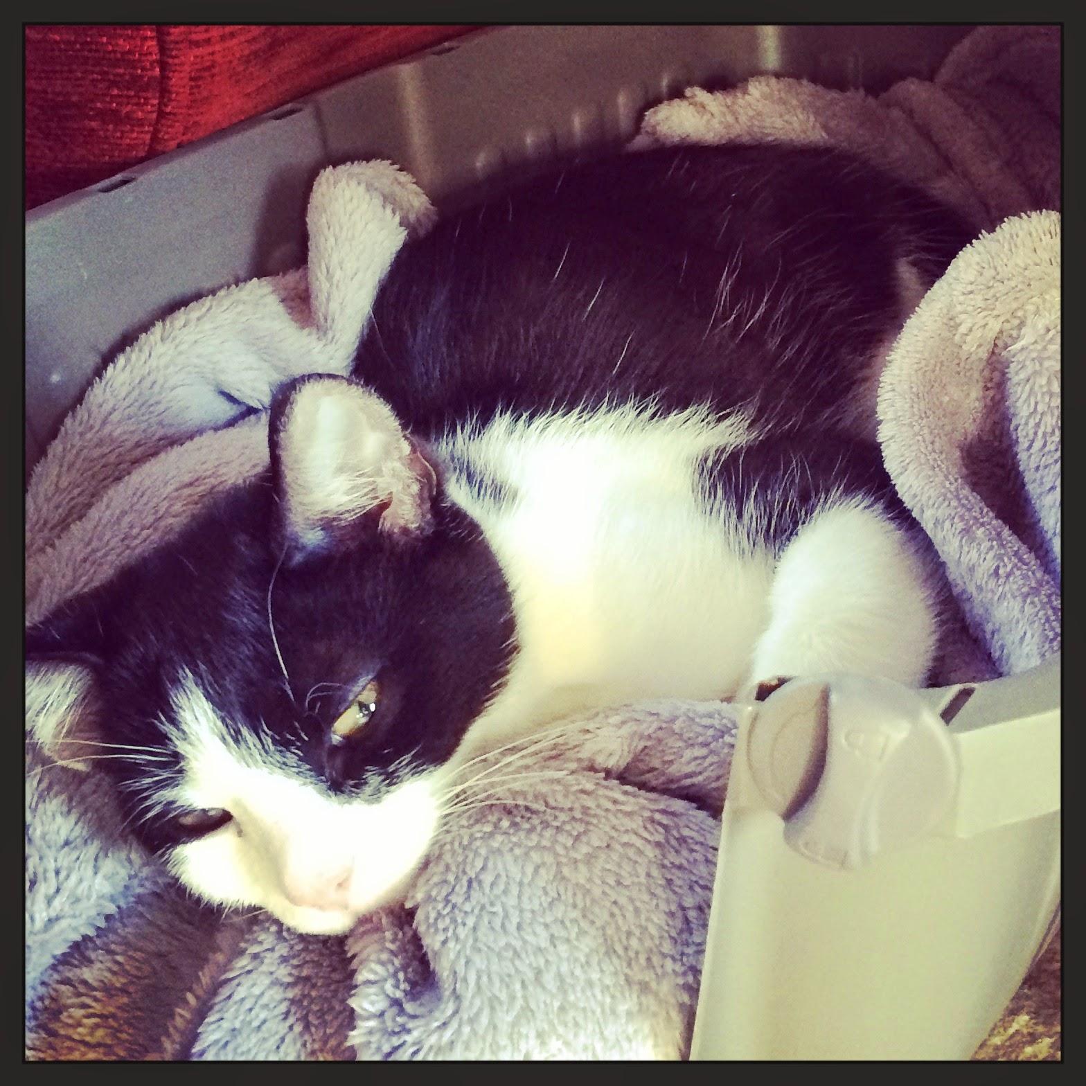 kitten Felix