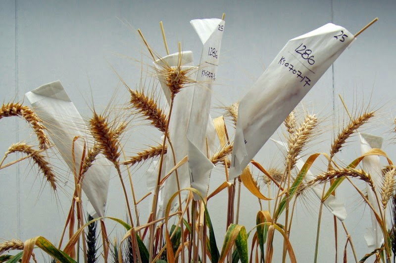 http://cjonline.com/life/arts-entertainment/2015-02-14/k-state-researchers-develop-transgenic-heat-tolerant-wheat