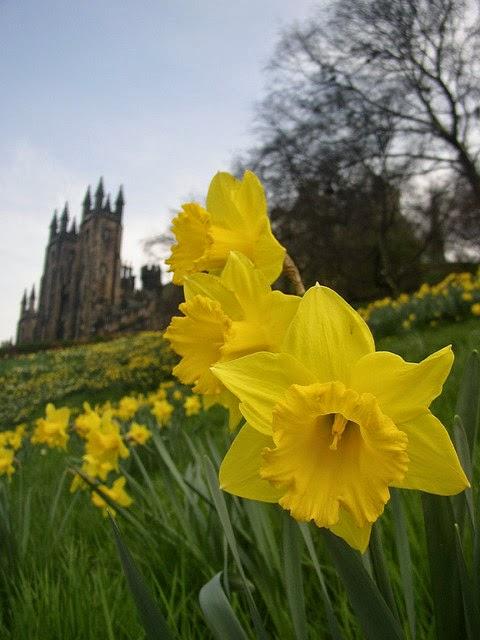 daffodils, castle