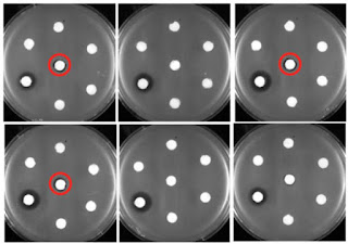 Engineered E. Coli To Produce New Forms Of Antibiotic