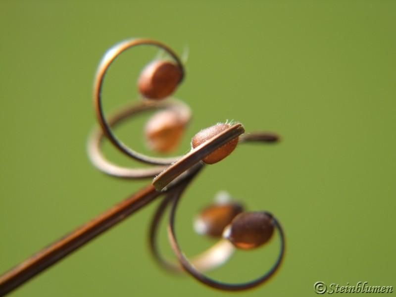 Geranium Samen