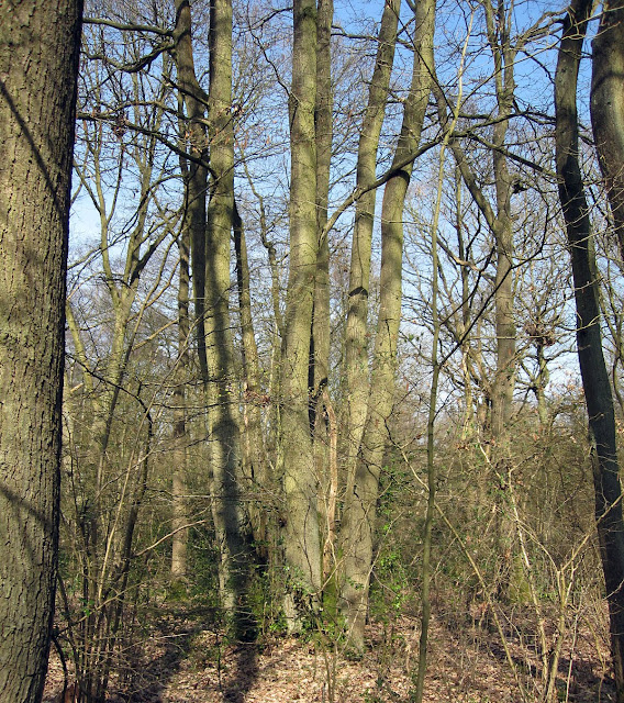 A scarce coppiced oak in Sparrow Wood, Southborough, near Bromley, providing six tall straight trunks instead of one. Clearly due for harvesting. 24 March 2011.