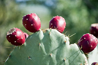 Flowers of nopal cactus are tubular at flowers.