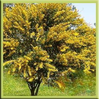 süs bitkisi çalı ağaç çiçek yaprak kıbrıs otel süs bitkisi kıbrıs akasya faydaları zararları yararları