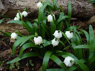 Oblíbené jarní kytky