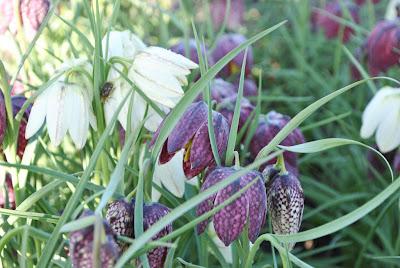 Рябчик шахматный (Fritillaria meleagris L.)