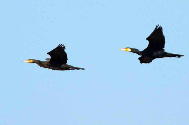 birds, flying, cormorants, two