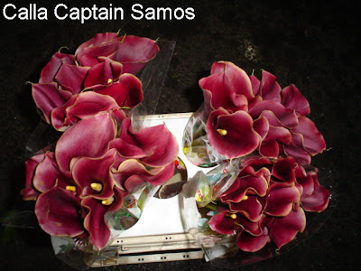 Calla Captain Samos