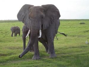 =?utf-8?q?gajah_ternyata_=e2=80=98bernyanyi=e2=80=99_seperti?= Manusia [ www.BlogApaAja.com ]