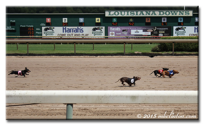 Dachshund race with horse track tote board