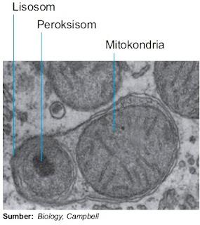 Struktur lisosom