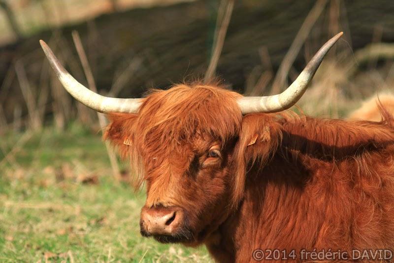 animaux bovin vache highland agriculture élevage marais Itteville Essonne