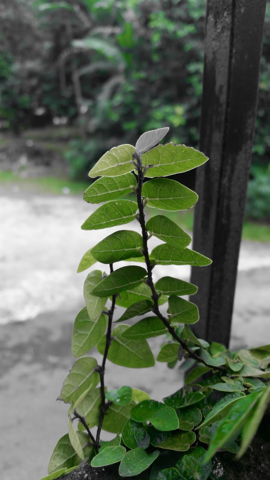 Pokok pagar