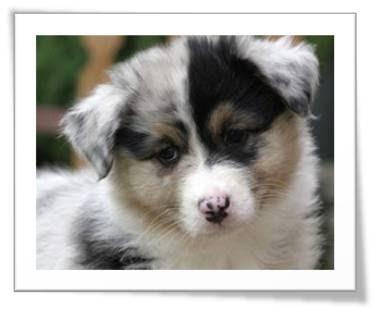 Cute Aussie Puppy Photos