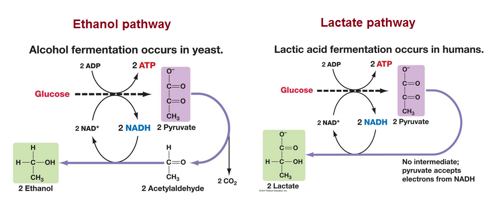 # 91 Anaerobic respiration - Ethanol and Lactate pathways ...