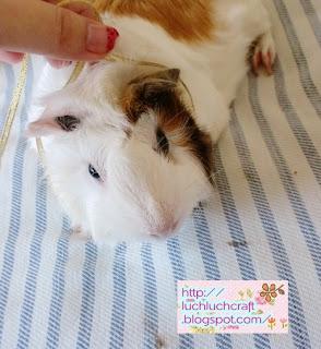 guinea pig jat