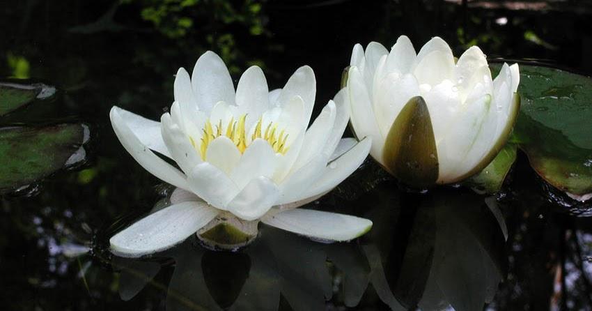 White in the Water Garden