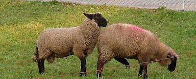 Apareamiento de ovejas