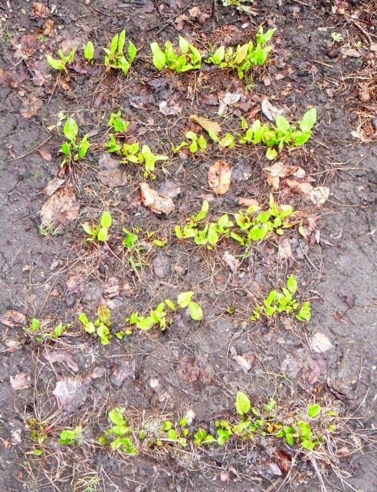 24.04. Первая зелень - щавель, скоро подрастет.