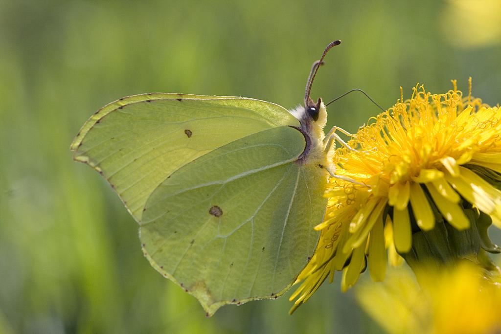 Para ampliar Gonepteryx rhamni (Linnaeus, 1758) Limonera hacer clic