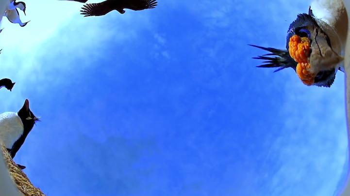 Increíble video aéreo de pingüinos realizado por un halcón