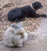 Queen Victoria the Angora Bunny with her sister, Branwyn