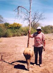 Xilopódio e planta do mamãozinho-de-veado