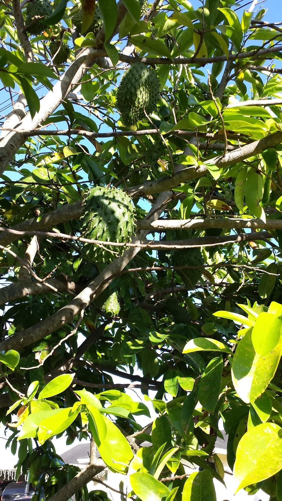 Hawaiian Beauty Diaries: Soursop - The Miracle Fruit