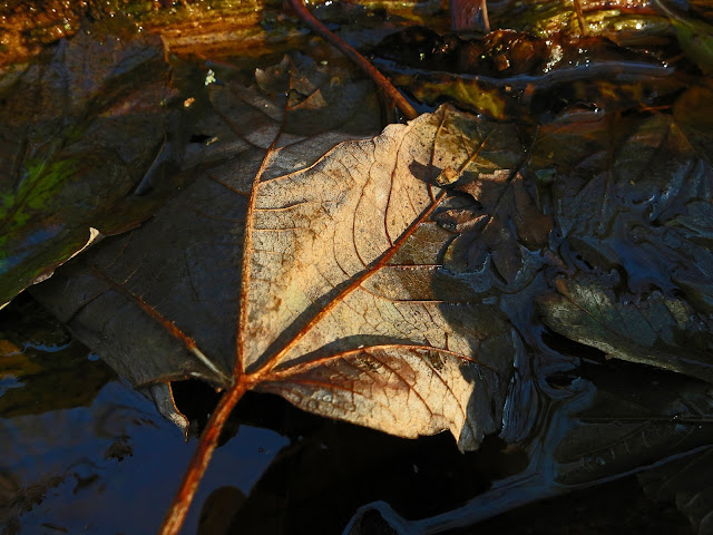 Leaf beginning to skeletonise in water