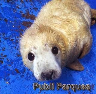 Cría de foca gris