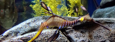 Weedy Sea Dragon at Georgia Aquarium