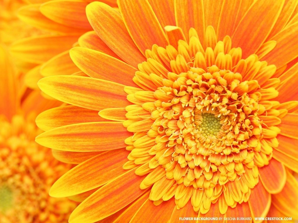 flowers wallpaper orange flowers wallpaper orange flowers wallpaper