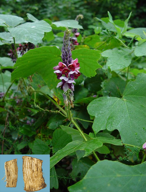 Pueraria lobata (willd.) Ohwi (Fam. Fabaceae)