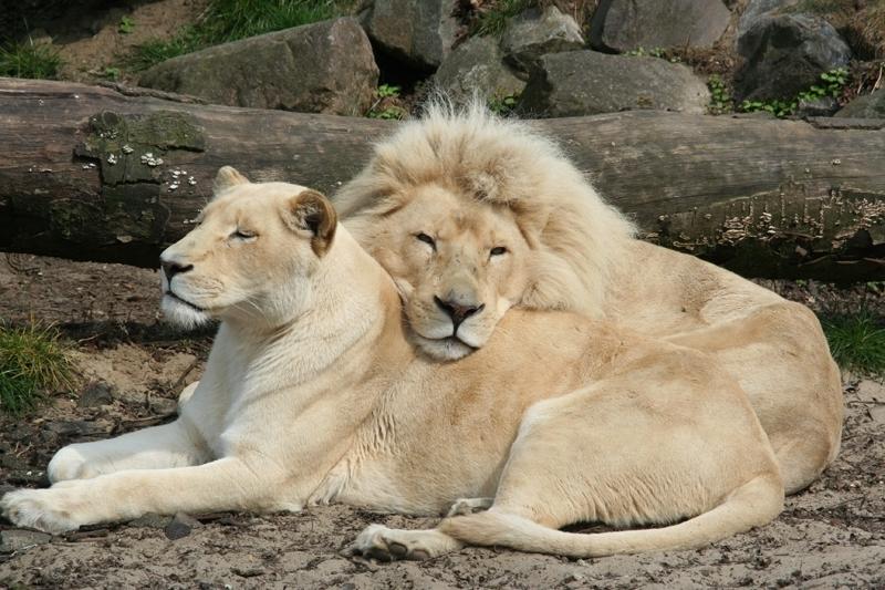 Львы картинки любовь прикольные
