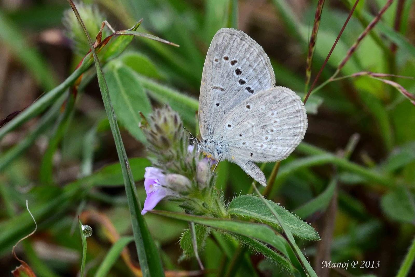Pale Grass Blue - Pseudozizeeria maha Kollar