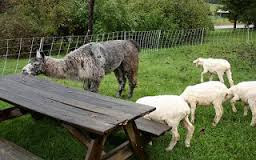 Sheep and table