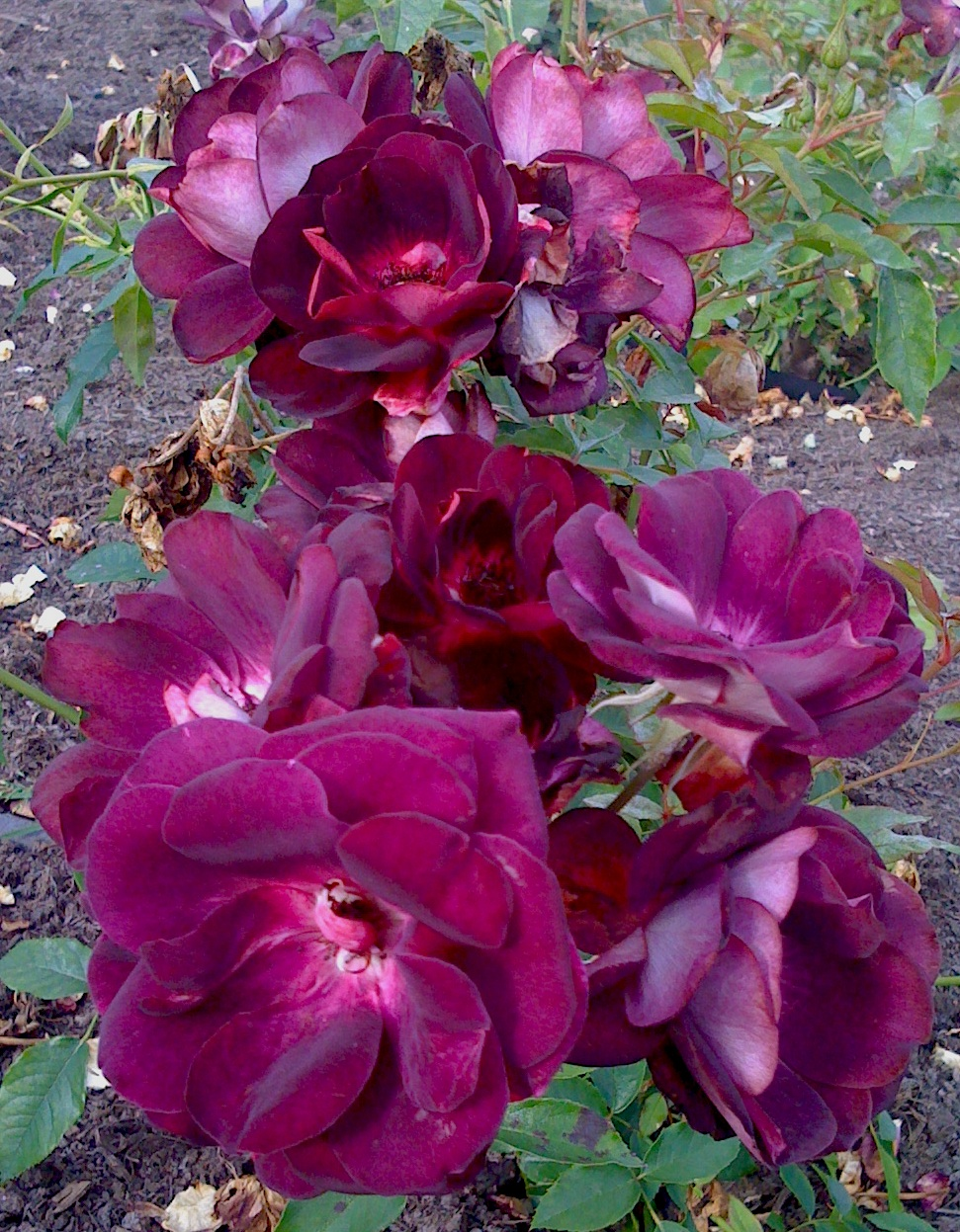 Picture of Live Floribunda Rose aka Rosa 'Iceberg' (Burgundy) Plant Fit 1 Gallon Pot