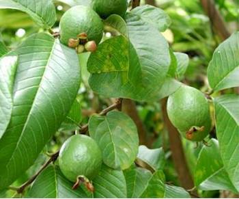 Guave baum