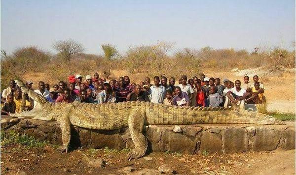 gambar hewan - foto buaya terbesar di dunia