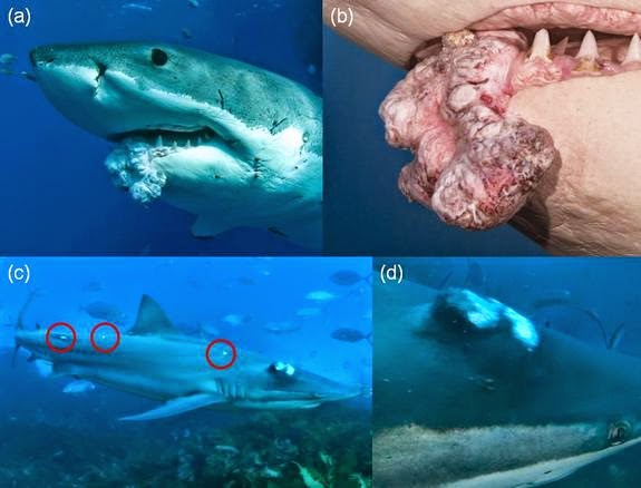 The hemlock tea room and ladies emporium cancer spreads in found stranded on maui with grotesque tumors a great white shark with mouth tumors and other shark with tumors fish caught off americas pacific coast publicscrutiny Image collections