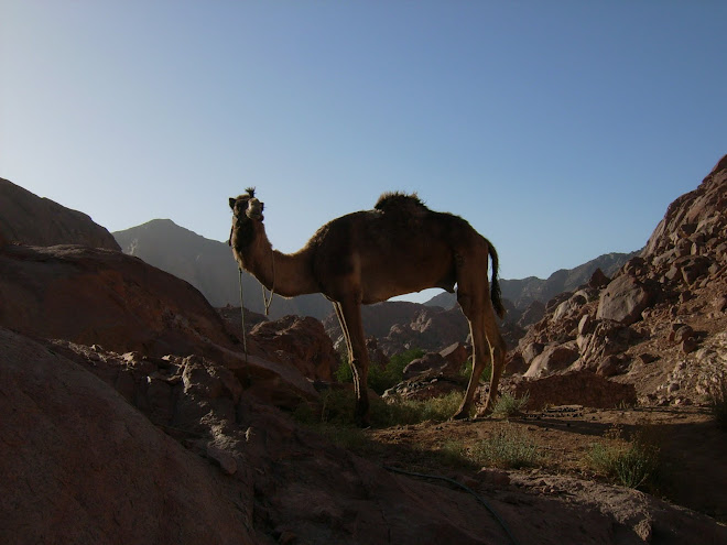 Original Masthead Photograph:  Camel in Sinai by Cath Barton