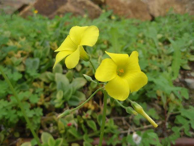 VINAGRETA-Oxalis-pes-caprae