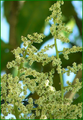 charoli tree health benefits
