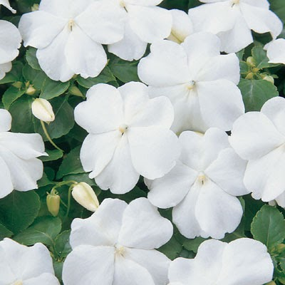 Sea of Glass: The Scents of Flower Power White Impatiens Flowers