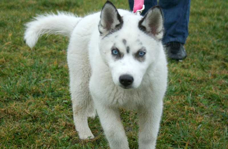 a little white husky puppy with blue eyes and fur that looks just like a fleece blanket