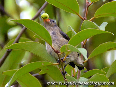 Juvenile Scarlet-backed Flowerpecker (Dicaeum cruentatum) with unripe pseudo berry of Common Chinese Mistletoe (Macrosolen cochincinensis)