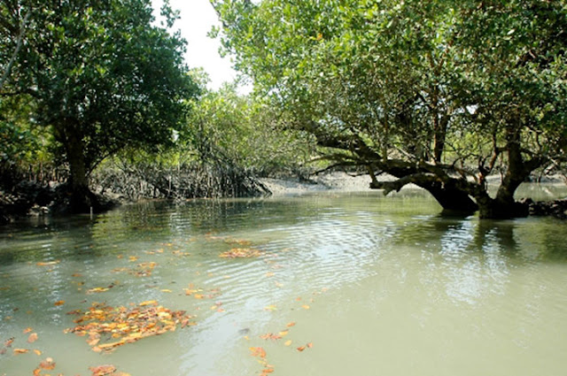 sunderban mangrove forest
